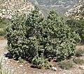 Juniperus osteosperma 5.jpg