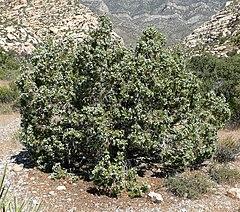 240px juniperus osteosperma 5