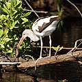 Juvenile White Ibis (4233168269).jpg
