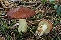 Körnchen-Röhrling Suillus granulatus 1.jpg