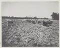 KITLV - 5436 - Kurkdjian - Soerabaja - Ploughing buffaloes on the sugar planttion Ketanen at Mojokerto - 1916-04.tif