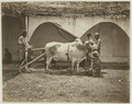 KITLV 26562 - Isidore van Kinsbergen - Carabao, strained for a farm machine in Bali - Around 1870.tif