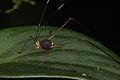 Katydid from Ecuador (16030583576).jpg