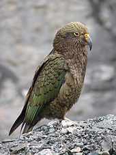 Image result for kea