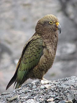 New Zealand's mountain parrot, the Kea