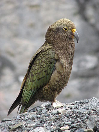 Kea - Juveniles have yellow eyerings and cere, an orange-yellow lower beak, and grey-yellow legs