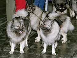 meaning of keeshond