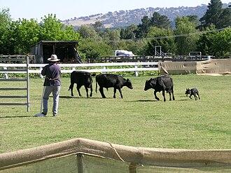 Australian Kelpie - An Australian Kelpie competing in a cattle dog trial, Woolbrook, NSW