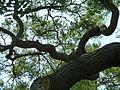 Kew Gardens Pagoda Tree P1170597.JPG