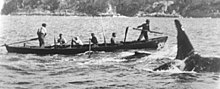 A killer whale swims alongside a whaling boat, with a smaller whale in between. Two men are standing, the harpooner in the bow and a steersman on the aft rudder, while four oarsmen are seated.