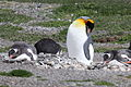 King Penguin (Aptenodytes patagonicus) (15768557670).jpg