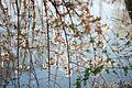 Kirschblüten im Setagaya (Tokyo) Park in Wien Döbling.jpg