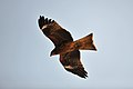 Kite - panoramio.jpg
