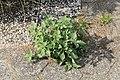 Kluse - Solanum nigrum - Schwarzer Nachtschatten 14 ies.jpg
