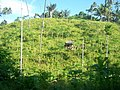 Kobong Rica Desa Sampiri Airmadidi - panoramio.jpg