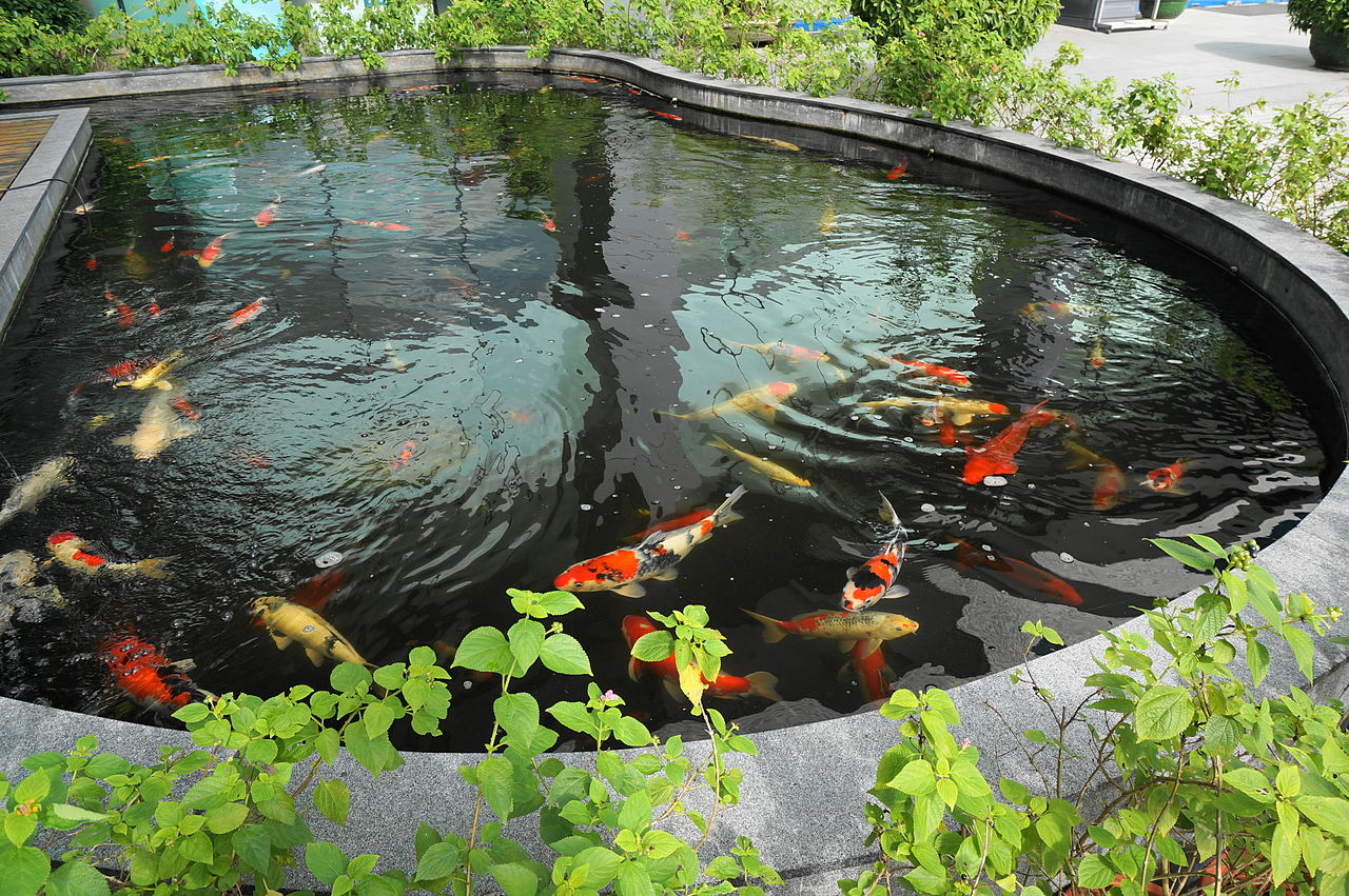 File koi pond in must jpg wikimedia commons for Bassin poissons exterieur
