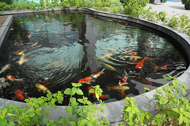 File koi pond in must jpg wikimedia commons for Koi pool cleveleys