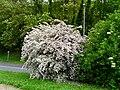 Kolkwitzia amabilis Périgueux.jpg