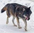 Kolmården Wolf.jpg