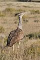 Kori bustard, Ardeotis kori, at Kgalagadi Transfrontier Park, Northern Cape, South Africa (34535341995).jpg