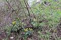Korina 2013-03-31 Mahonia aquifolium 2.jpg