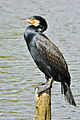 Kormoran (Phalacrocorax carbo) 03,.jpg
