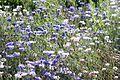 Kornblume (Centaurea cyanus) (9480848680).jpg