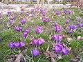 Kwiaty w parku Rataje w Poznaniu - marzec 2019 - 2.jpg