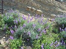 Southern Mountain Lupine (Lupinus excubitus) : Photos, Diagrams ...