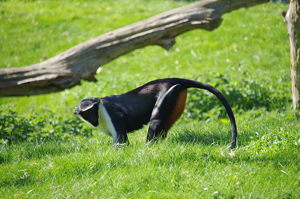 The average adult weight of a Diana monkey is 4.36 kg (9.62 lbs)