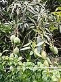 La Mangue de Kisangani.jpg