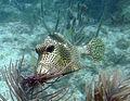 Lactophrys Pickles Reef.jpg