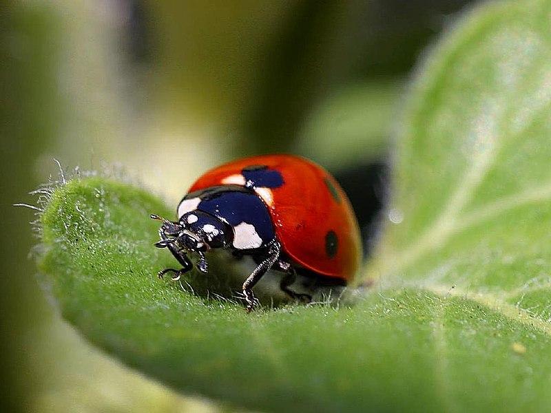 File:Ladybug (1).jpg