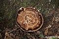 Laetiporus persicinus 9133393.jpg