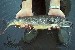 Lake trout fish in hands salvelinus namaycush.jpg