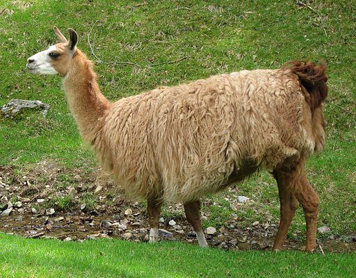 Lama glama 02 by Line1