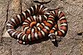 Lampropeltis pyromelana - Flickr - aspidoscelis.jpg
