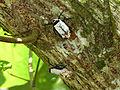 Lantern Bugs (Penthicodes farinosa) (8440613407).jpg