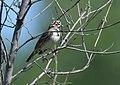 Lark Sparrow (34996521556).jpg