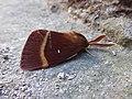 Lasiocampa quercus Santa Fiora 01.jpg
