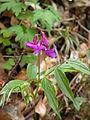 Lathyrus vernus flowers.jpg