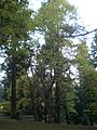 Laurelhurst Park trees, Nov. 2011.JPG