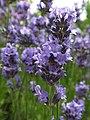 Lavender (35505792406).jpg