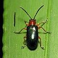 Leaf Beetle (14269268757).jpg