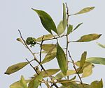Leaves with fruit pod at canopy in Kolkata W IMG 4579.jpg