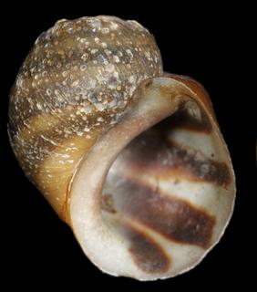 <i>Leptoxis ampla</i> species of mollusc