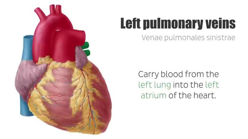 Fileleft And Right Pulmonary Veins Anatomy Function Human