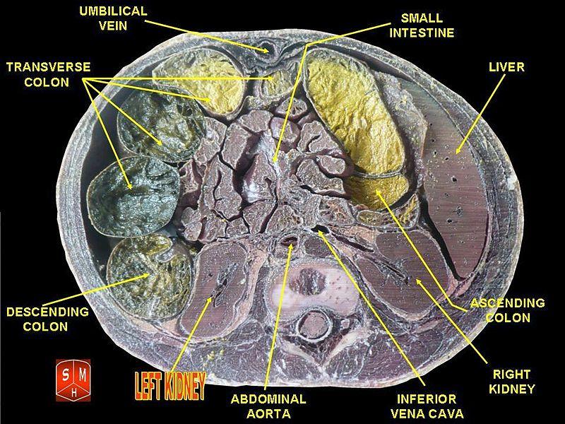 Left kidney.jpg