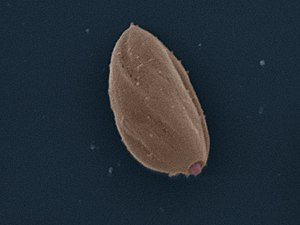 Trypanosomatida - Image: Leishmania Mexicana Amastigote SEM