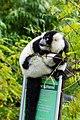 Lemur (26773337829).jpg